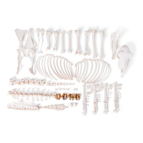 ヒツジの全身骨格標本,メス・分離