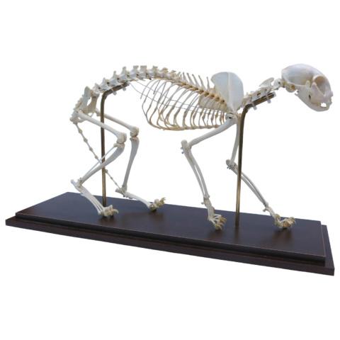 ネコの全身骨格標本,可動型