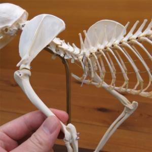 前肢は肩関節から取外し可能です