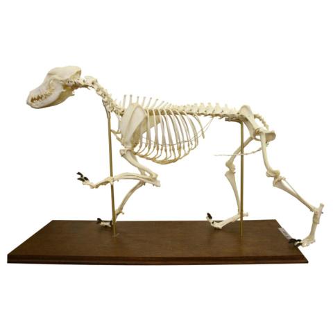 イヌの全身骨格標本,可動型