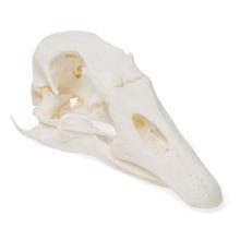 ガチョウの頭蓋骨標本