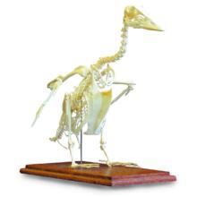 ガチョウの全身骨格標本