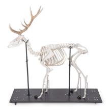 アカシカの全身骨格標本