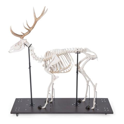 アカシカの全身骨格標本,オス