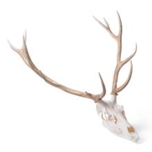 アカシカの頭蓋骨標本,メス