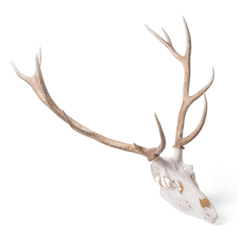 アカシカの頭蓋骨標本,オス