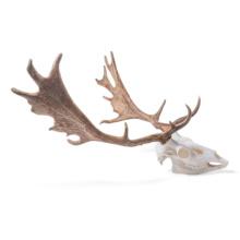 ダマジカの頭蓋骨標本,メス