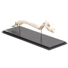 イヌの頭蓋骨と脊柱標本