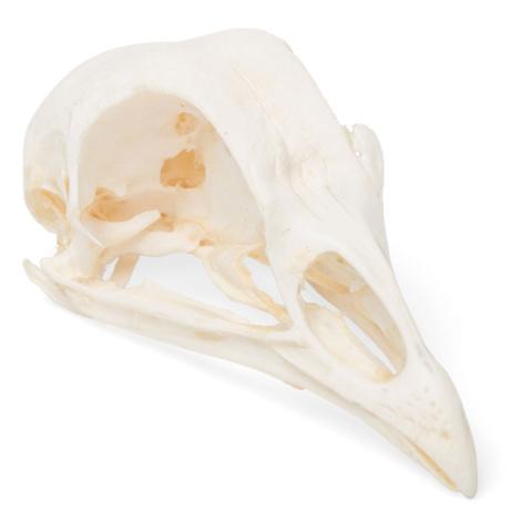 ニワトリの頭蓋骨標本
