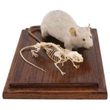 マウスの全身骨格標本と剥製