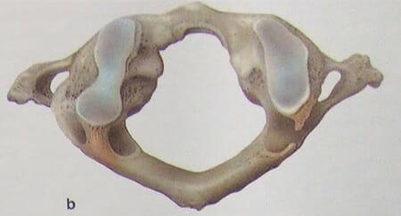 環椎の写真b