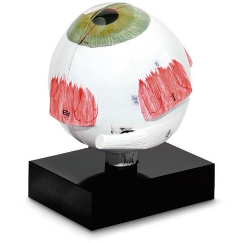 超音波生物計測用視覚器模型