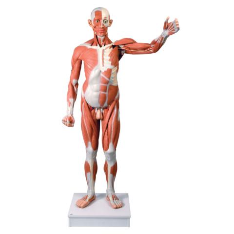 男性,実物大筋肉解剖,37分解モデル