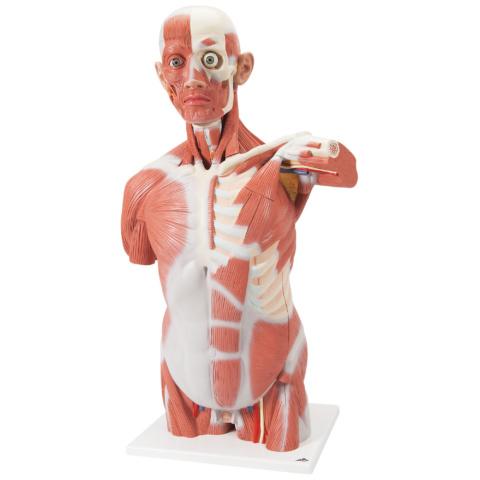 男性,筋肉トルソー,27分解モデル