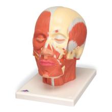 頭・頚部の筋肉モデル