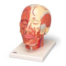 頭・頚部の筋肉モデル,血管付