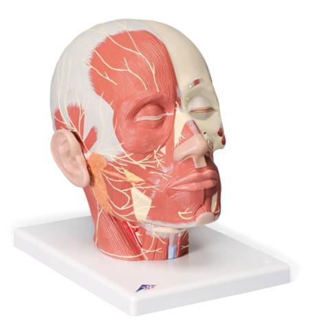 頭・頚部の筋肉モデル,神経付