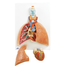 肺,5分解モデル