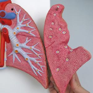 左肺:気管支などを再現