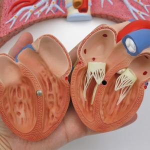 心臓:内部を確認できます