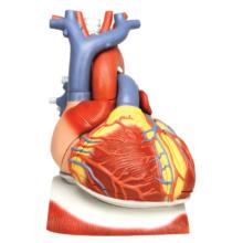 心臓,横隔膜付,3倍大・10分解モデル