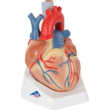 心臓,1.5倍大・7分解モデル