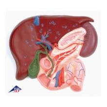 十二指腸周辺の導管系レリーフモデル