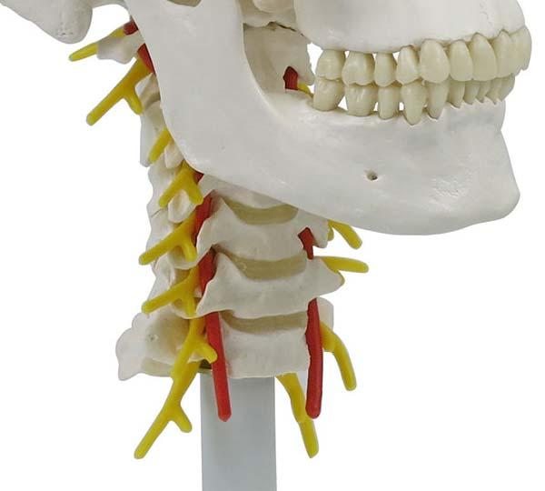 椎骨動脈は第7頚椎の横突孔は通りません