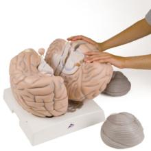 脳,2.5倍大,14分解ジャイアントモデル