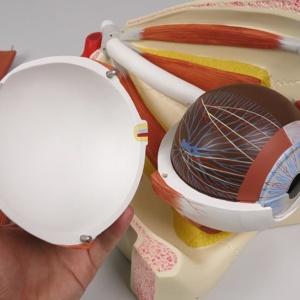 眼球線維膜:上部の取り外し