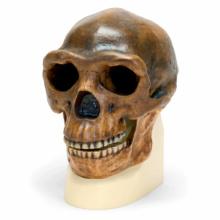 北京原人(シナントロプス)の頭骨モデル