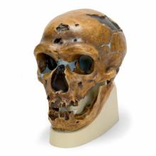 ネアンデルタール人の頭骨モデル
