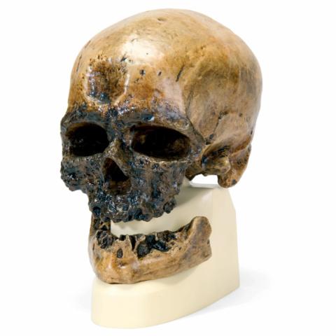 クロマニヨン人の頭骨モデル