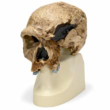 シュタンハイム人の頭骨モデル