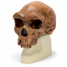 ハイデルベルグ人の頭骨モデル