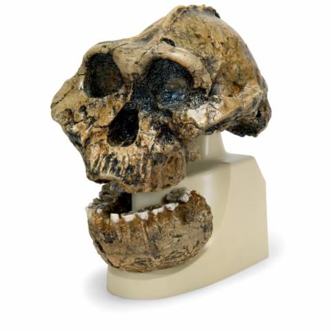 ボイセイ猿人の頭骨モデル