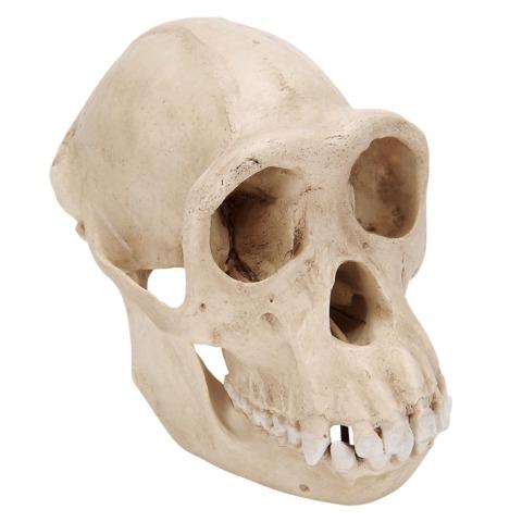 チンパンジーの頭蓋骨模型,メス