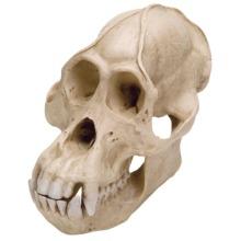 オランウータンの頭蓋骨模型,オス