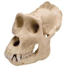ゴリラの頭蓋骨模型,オス