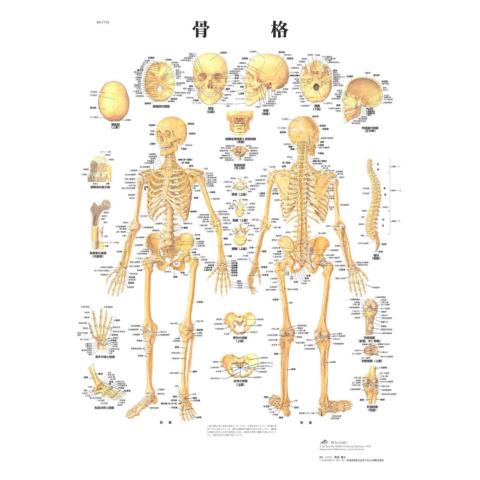 医学チャート「骨格」A3