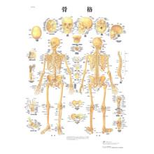 医学チャート・日本語版,B2ポスター「骨格」