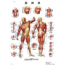 医学チャート・日本語版,B2ポスター「筋肉系」