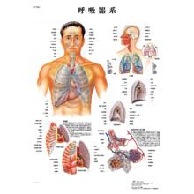 医学チャート「呼吸器系」A3