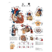 医学チャート「心臓」A3