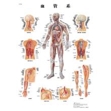 医学チャート「血管系」A3