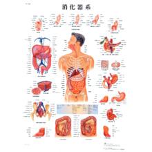 医学チャート「消化器系」A3