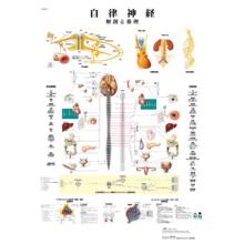 医学チャート「自律神経」A3