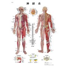 医学チャート「神経系」A3