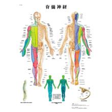 医学チャート「脊髄神経」A3