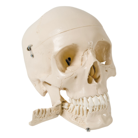 頭蓋,抜歯型,4分解モデル